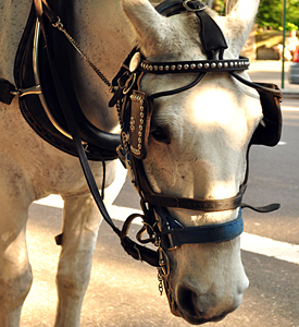 New York City carriage horse. ASPCA image. Image not filed with original story.