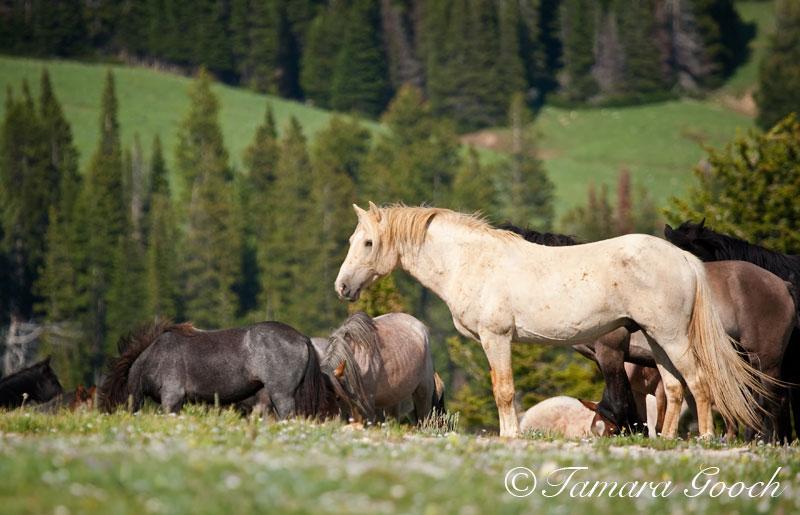 Cloud Wild Stallion Herd Photo by Tamara Gooch.