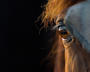 Close up of the eye of the horse.