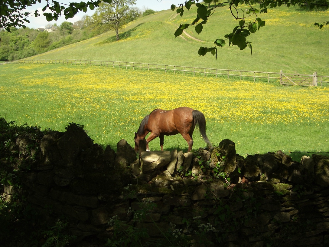 Horse in a field of buttercups in the English Cotswold countryside.