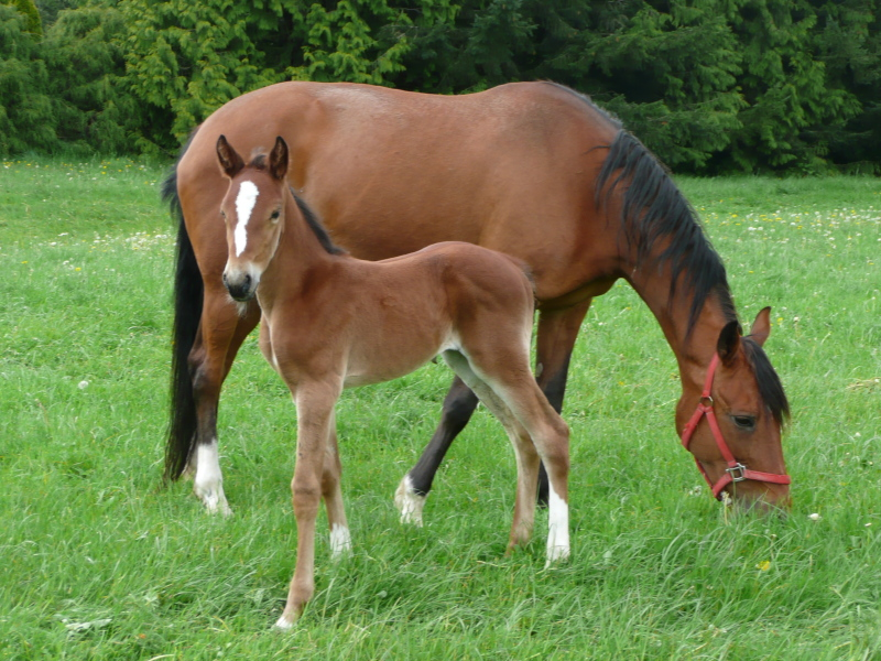 Standardbred Mare and Foal. Google image.