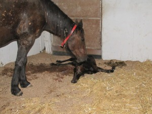 Just born Standardbred foal.