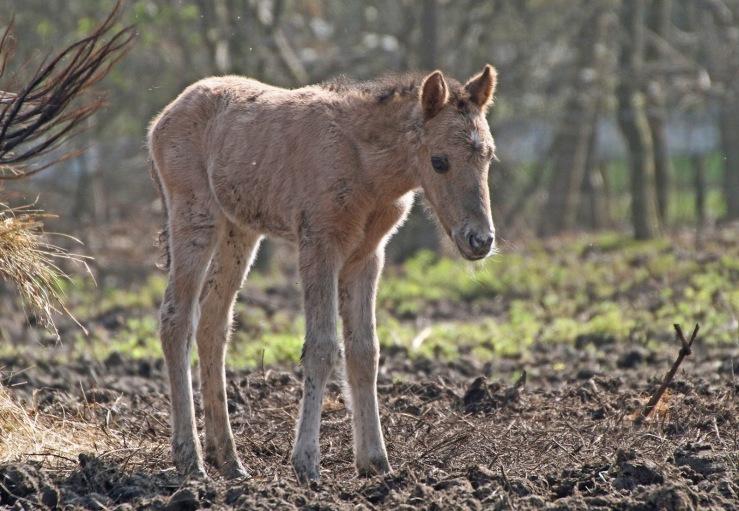 Wildwood Konik Foal. Wildwood Trust image.