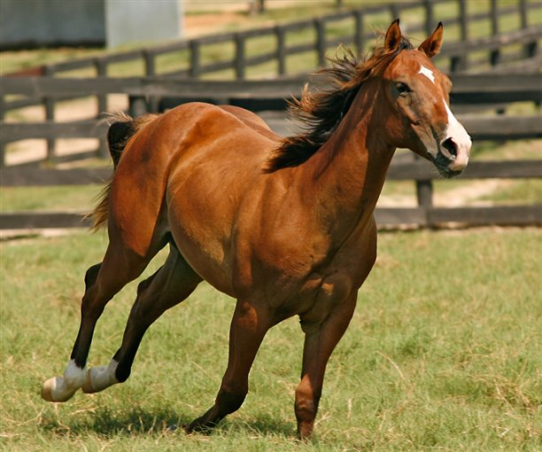 Clayton, a cloned Quarter Horse.