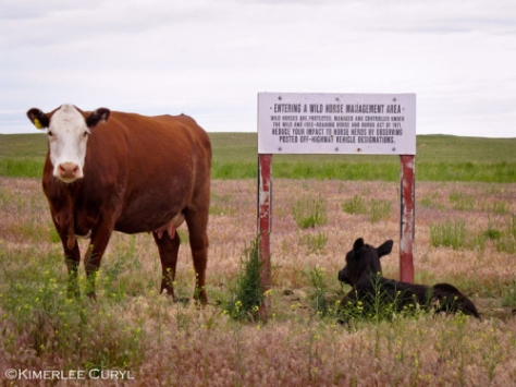 Cow and calf on public lands. Image by Kimberlee Curyl.