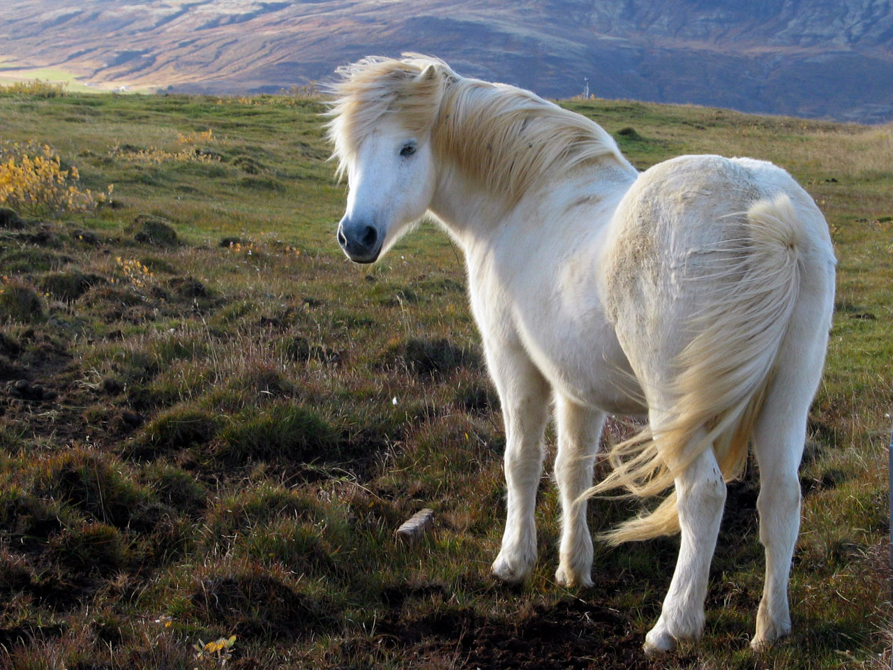 Icelandic slaughterhouse advertises for horses to feed overseas diners