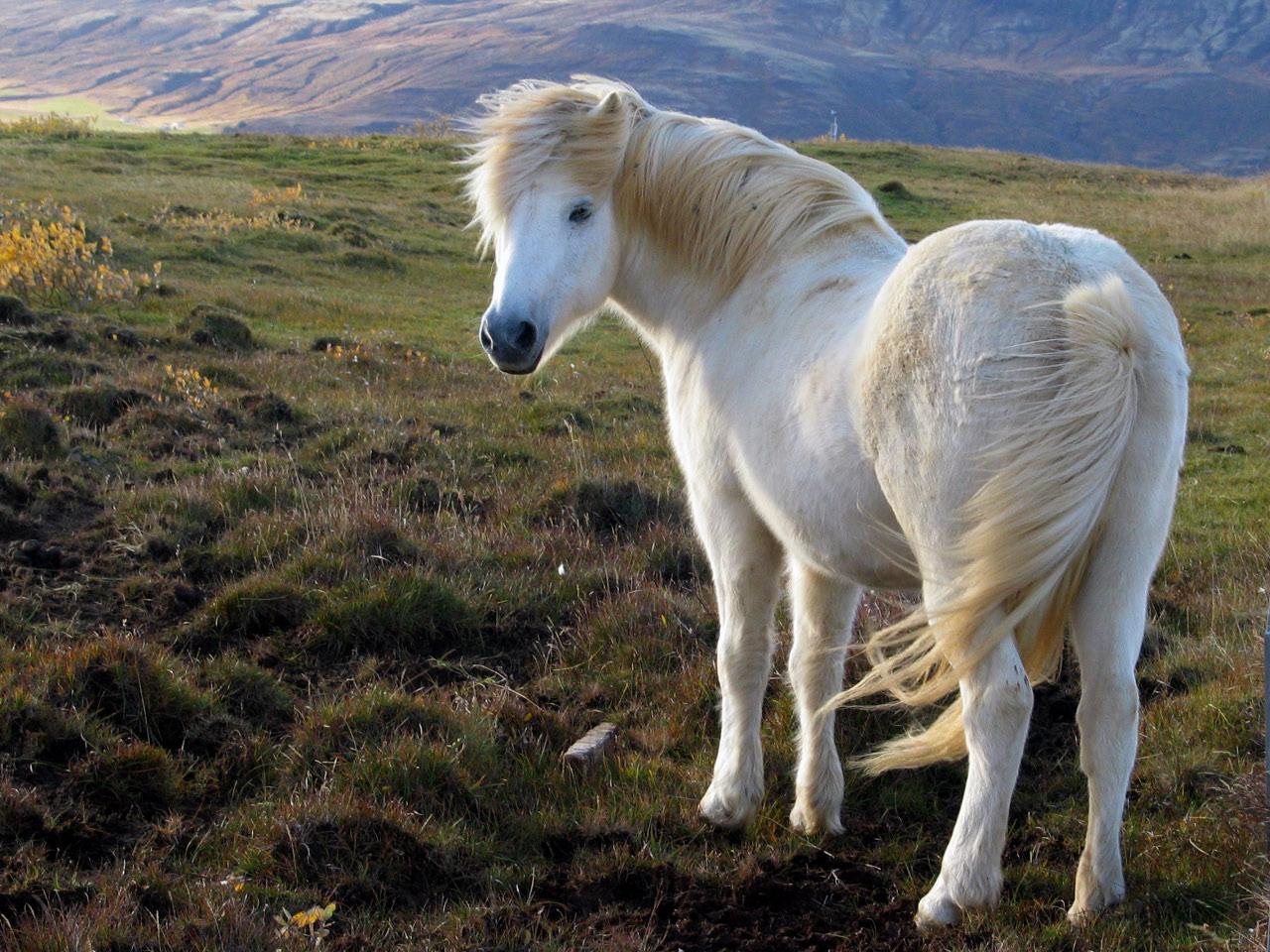 Most Inspiring Wallpaper Horse Summer - icelandic_horse  Gallery_974451.jpg?w\u003d1088