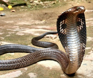 Indian King Cobra (naga naga).