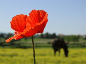 Poppy and Horse. By Lollipop.
