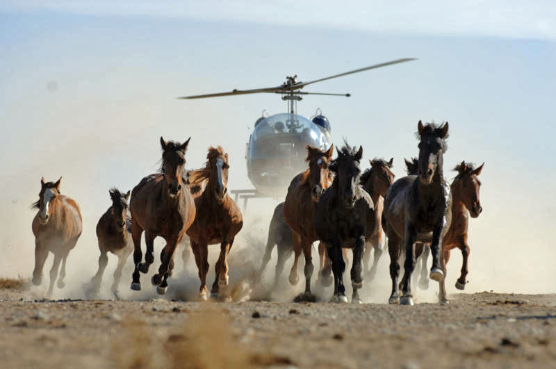 Wild Horse Helicopter Stampede. Catoor Livestock image.