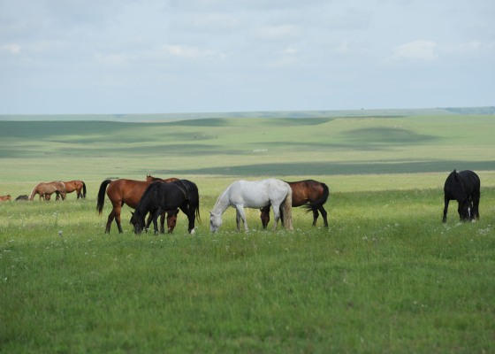 Wild horses removed from federal lands set aside for them, grazing on private lands in Kansas.