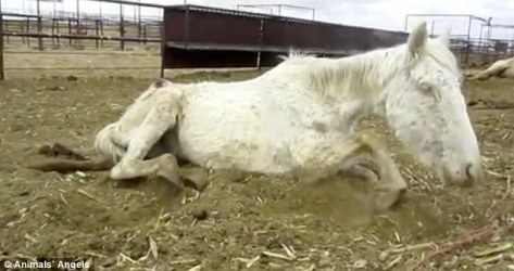 Horse cruelty documented at Southwest Livestock Auction NM.  Animals Angels image.