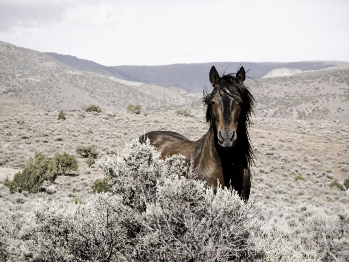 Nevada Mustang by (c) Cynthia Smalley