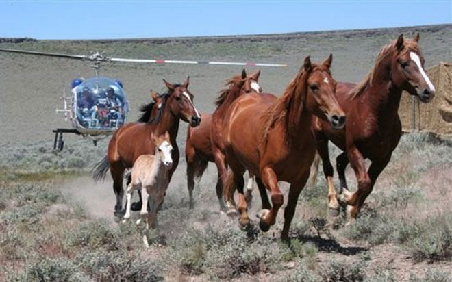 Helicopter Horse Roundup Wild Horse Roundup Mares Foals