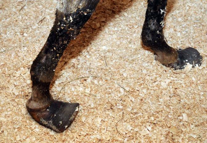 Rescued mare Cheyenne with seriously deformed hooves. Mara Lavitt/New Haven Register.
