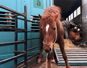 Horse leaves a trailer on her way to death by slaughter.