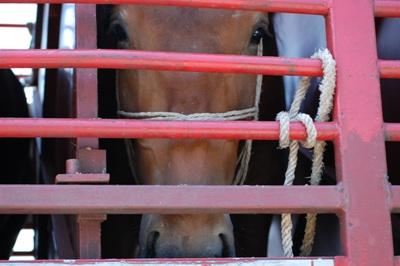 Slaughter Horse in Trailer. Google UK image.