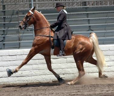 Tennessee Walking Horse with Stacks and Chains. Google image.