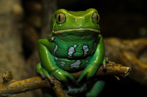 Waxy Monkey Tree Frog. By Afulki on Flickriver.