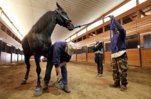 Tennessee Walking Horse is inspected for soring. HSUS image.