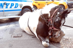 Oreo is corralled and darted by Police. Photo credit: Sam Costanza.