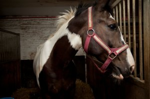 Oreo at Clinton Park Stable. Ángel Franco/The New York Times.