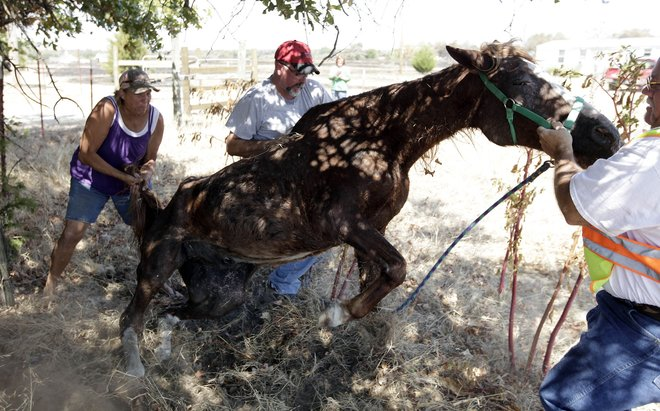 Starving abandoned horse burned in Oklahoma wildfires. MIKE SIMONS/Tulsa World.