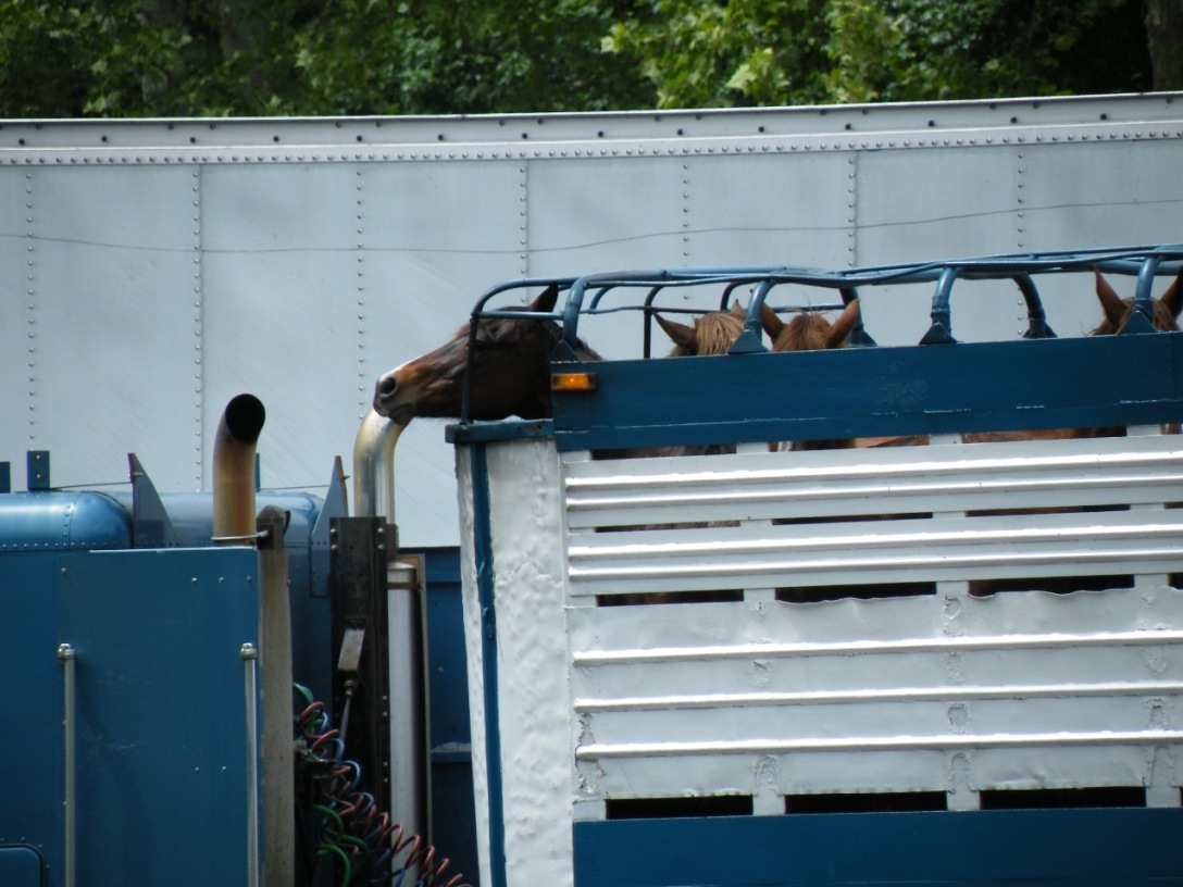Three Angels' Farm horses on their way to slaughter. Google image.