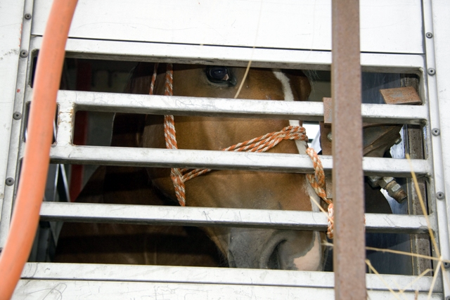 Trailered Slaughter Horse. Google image.