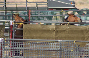 Captured Antelope Valley HMA Mustangs. Photo Laura Leigh.