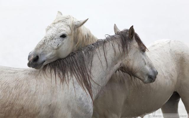 Wild Horses of Camarague nr Arles, France. Image (c) Marco Carmassi.