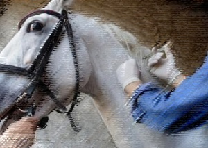Frightened horse held and injected.