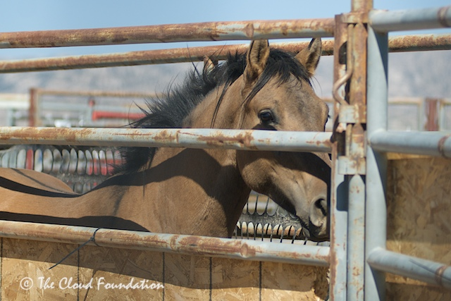 Pryor wild horse Kyber loaded following adoption. The Cloud Foundation.