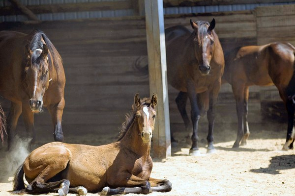 Rita Crundwell Quarter Horses. Photo by Alex Garcia, Chicago Tribune.