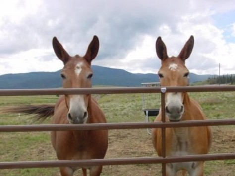 Two healthy mules were killed and stuffed to make make an art exhibit. Facebook image.