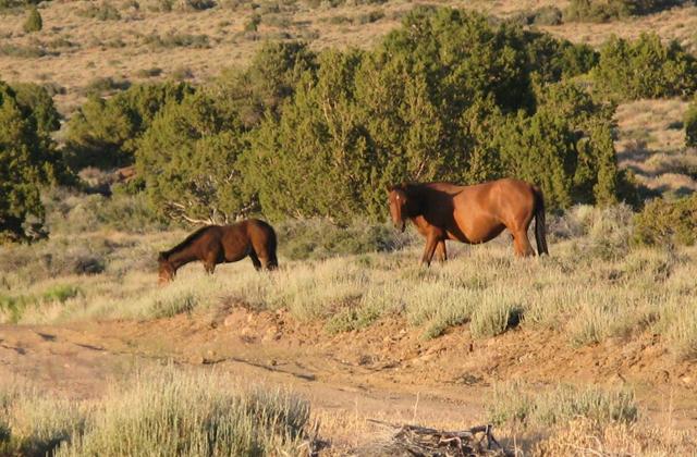 Virginia Range Wild Horses. Photo: Protect Mustangs.