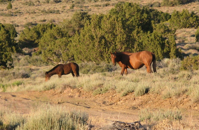 Virginia Range Wild Horses. Photo: Protect Mustangs.