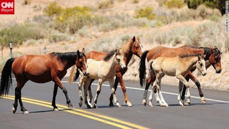 Wild horses cross a road outside Reno NV. Source: CNN iReport.