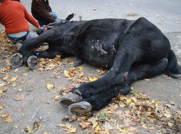 Montreal carriage horse Blackjack injured and down. Photo: SPCA.