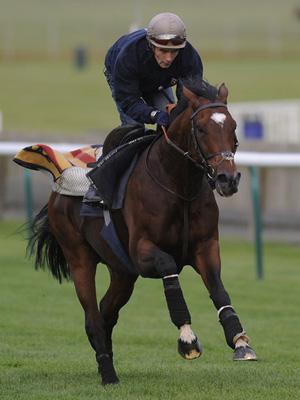 Frankel gallops on Newmarket Heath.