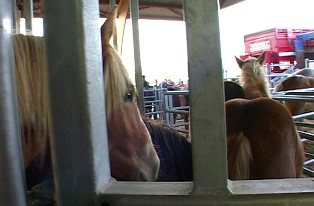 Live transport of horses to slaughter. Digital News Agency Photo.