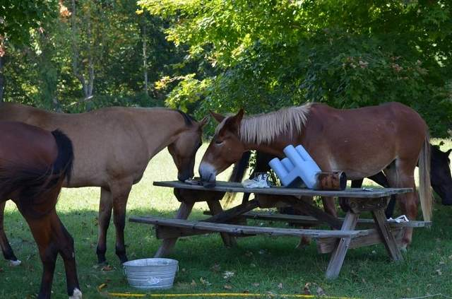 Mysterious stray equines. Submitted photo: Dickson Herald.