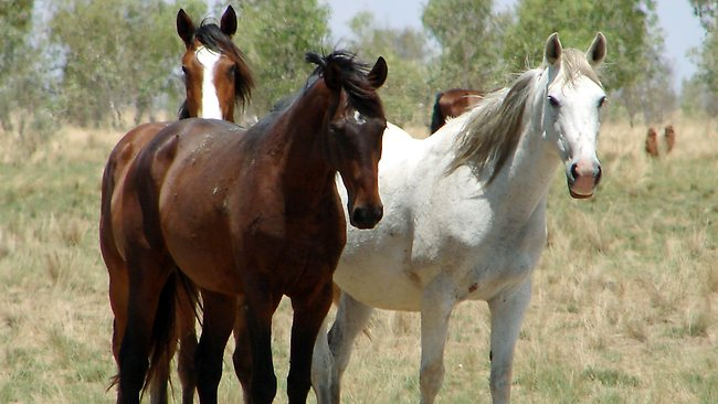 Wild horses of Western Australia. Photo credit: PerthNow.