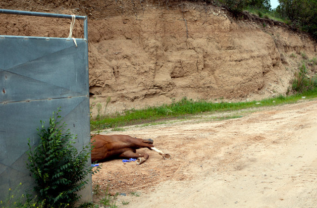 Dead, discarded racehorse near NM racecourse. Photo: Jakob Schiller NYT.