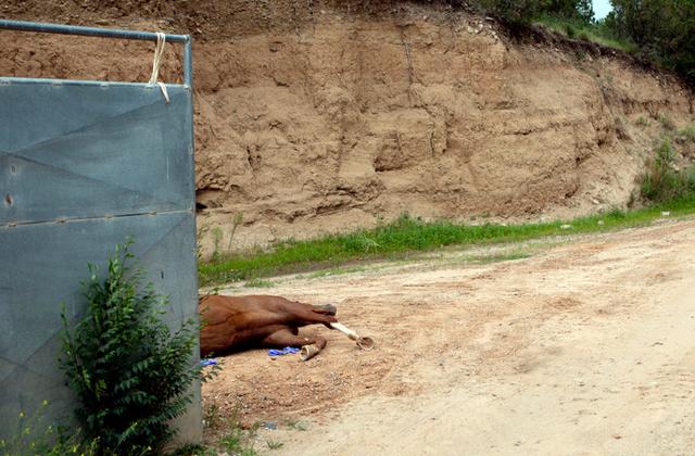 Dead, discarded racehorse near NM racecourse.  Photo: Jakob Schiller NYT.