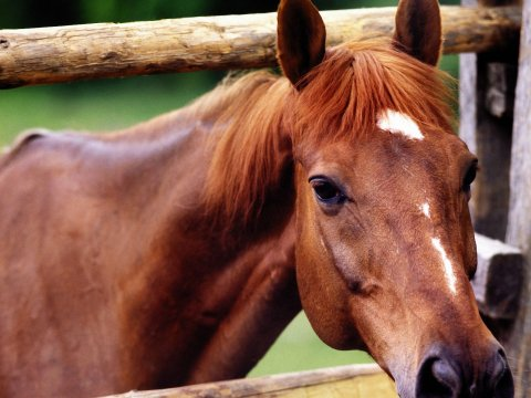 Horse peering through fence. Google image.