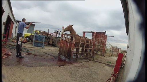 Failed racehorse shot for slaughter, Australia. Australian Broadcast Corporation image.