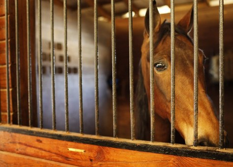 Tennessee Walking horse watches worriedly during horse soring inspections. Photo: HSUS.