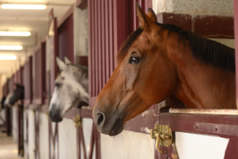 Thoroughbred Racehorses in Stalls. Google image.