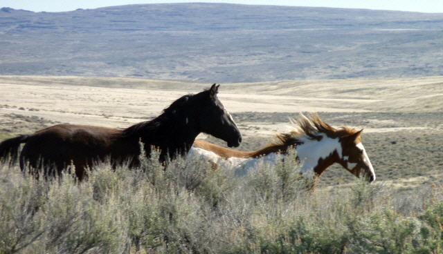 Twin Peaks Mustangs. American Wild Horse Preservation Campaign.